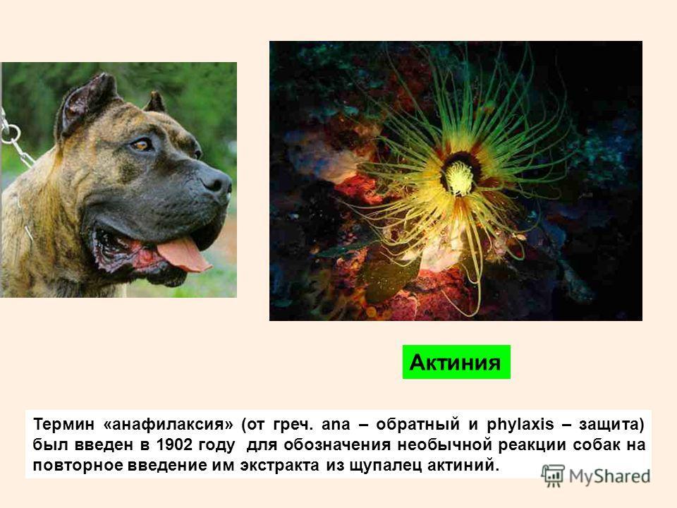 Термин «анафилаксия» (от греч. ana – обратный и phylaxis – защита) был введен в 1902 году для обозначения необычной реакции собак на повторное введение им экстракта из щупалец актиний. Актиния