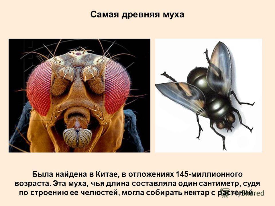 Плодовитость Домашняя (комнатная) муха за 2,5 месяца жизни откладывает от 600 до 2 тыс. яиц. Живут мухи обычно возле мест, где они вывелись, однако выяснилось, что под действием ветра они могут перемещаться на расстояние вплоть до 45 км.