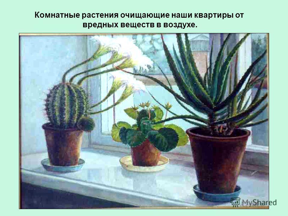 Комнатные растения очищающие наши квартиры от вредных веществ в воздухе.
