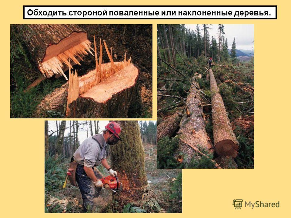 Обходить стороной поваленные или наклоненные деревья.