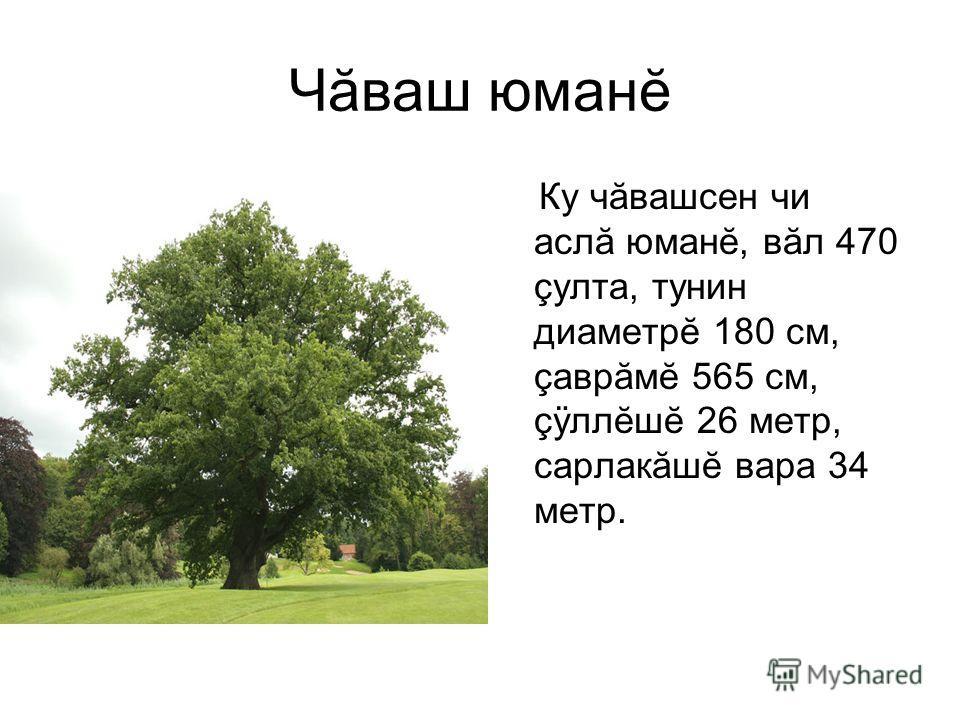 Чăваш юманĕ Ку чăвашсен чи аслă юманĕ, вăл 470 çулта, тунин диаметрĕ 180 см, çаврăмĕ 565 см, çÿллĕшĕ 26 метр, сарлакăшĕ вара 34 метр.