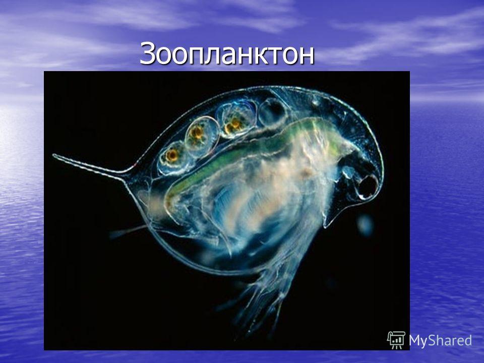 Зоопланктон Зоопланктон