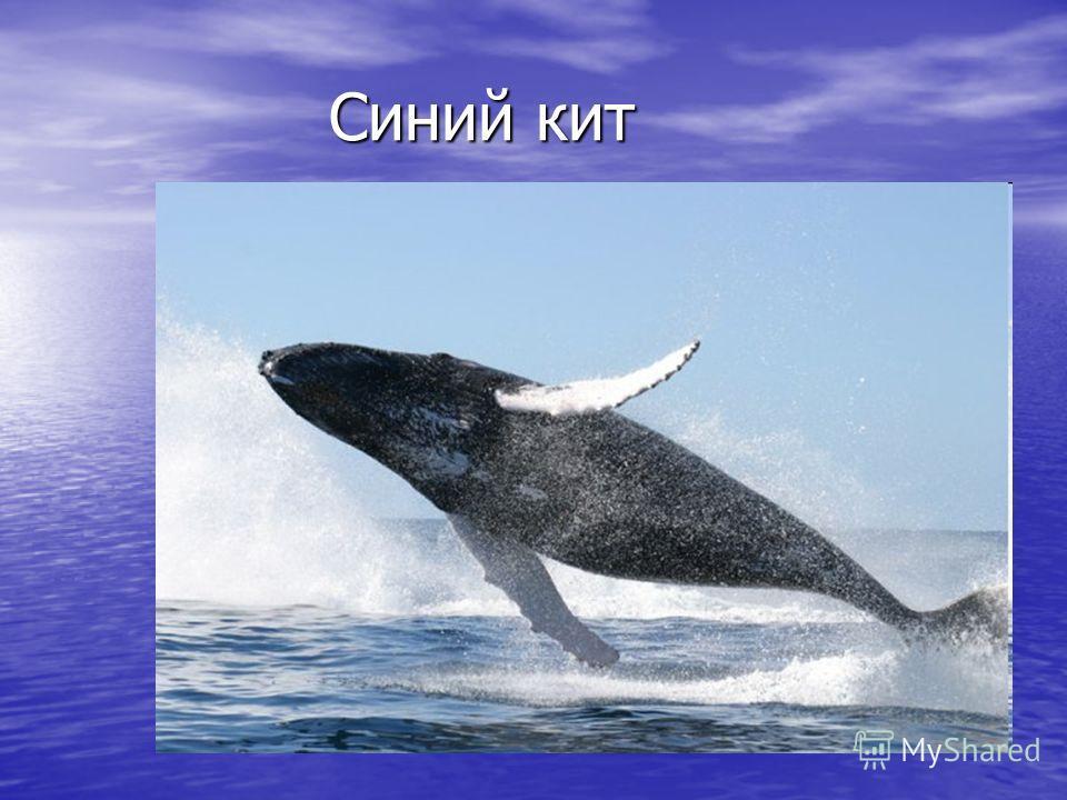 Синий кит Синий кит