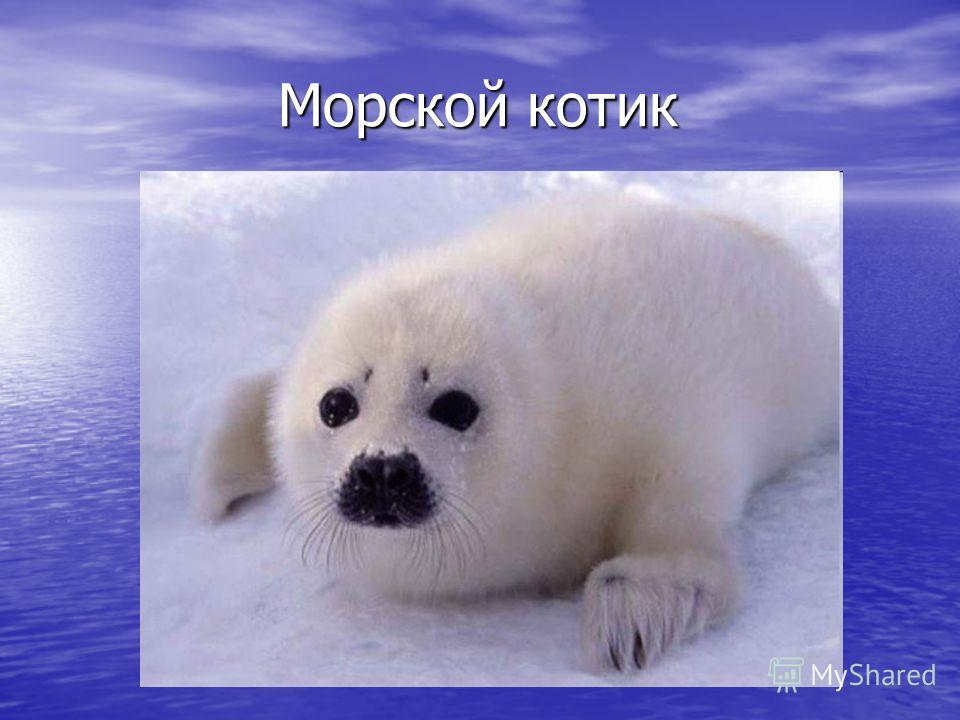 Морской котик Морской котик