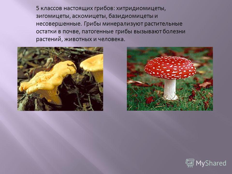 5 классов настоящих грибов : хитридиомицеты, зигомицеты, аскомицеты, базидиомицеты и несовершенные. Грибы минерализуют растительные остатки в почве, патогенные грибы вызывают болезни растений, животных и человека.