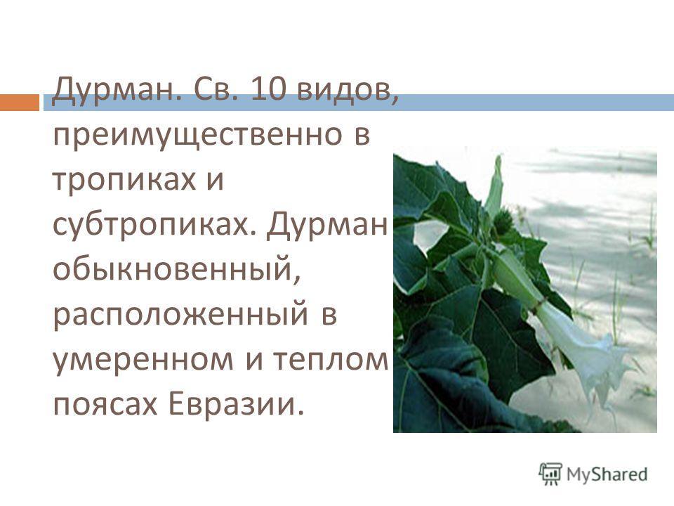 Дурман. Св. 10 видов, преимущественно в тропиках и субтропиках. Дурман обыкновенный, расположенный в умеренном и теплом поясах Евразии.