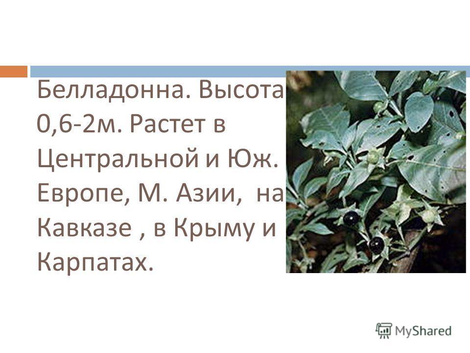 Белладонна. Высота 0,6-2 м. Растет в Центральной и Юж. Европе, М. Азии, на Кавказе, в Крыму и Карпатах.