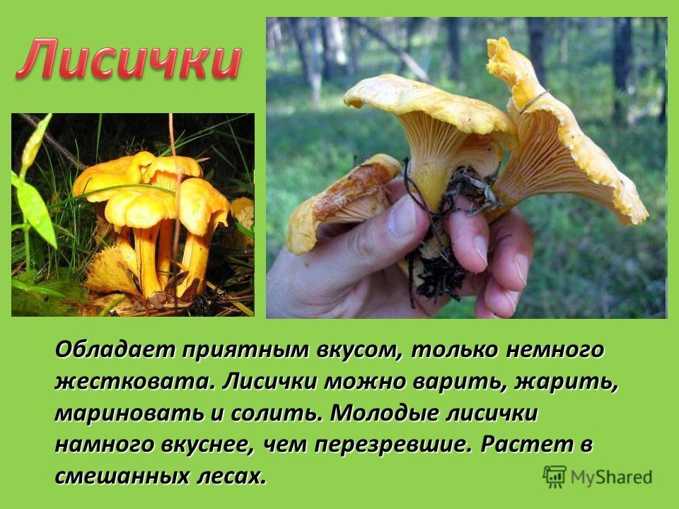 Обладает приятным вкусом, только немного жестковата. Лисички можно варить, жарить, мариновать и солить. Молодые лисички намного вкуснее, чем перезревшие. Растет в смешанных лесах.