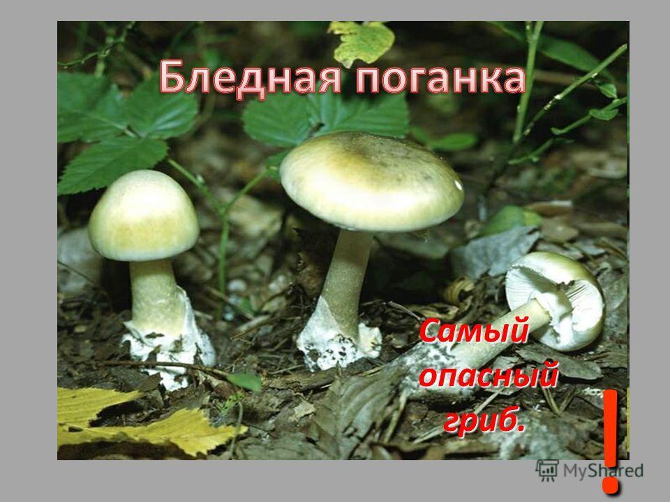 Самый Самый опасный опасный гриб. гриб. !