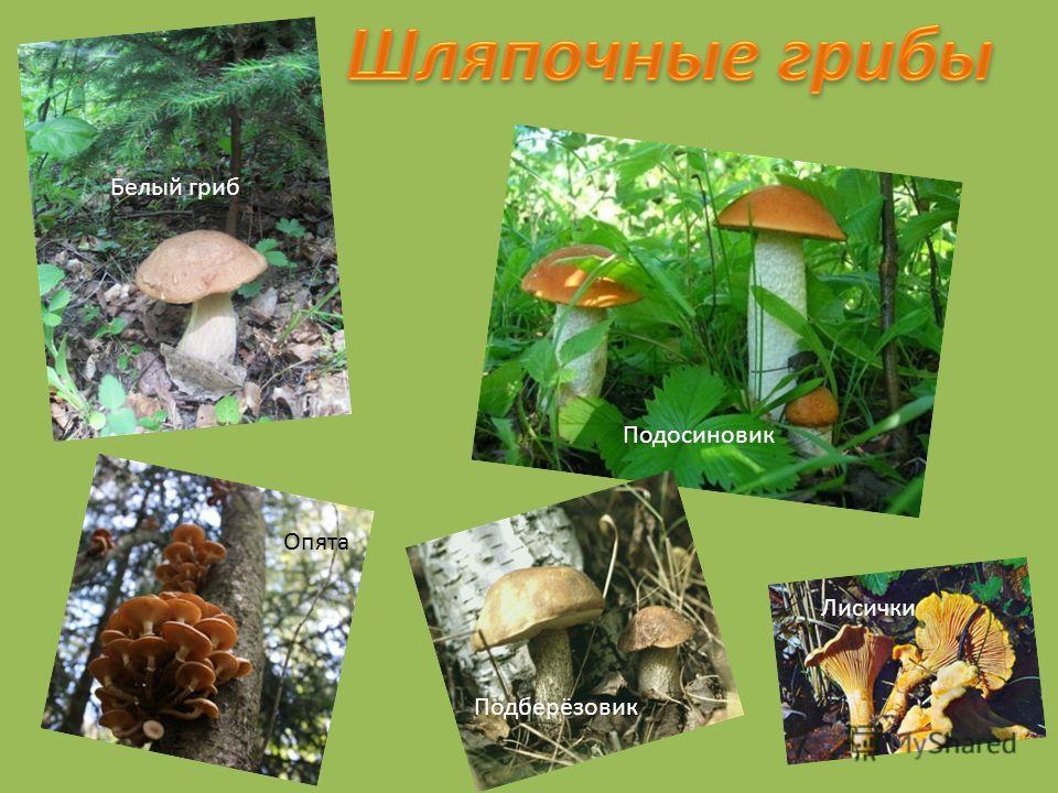 Белый гриб Подосиновик Опята Подберёзовик Лисички