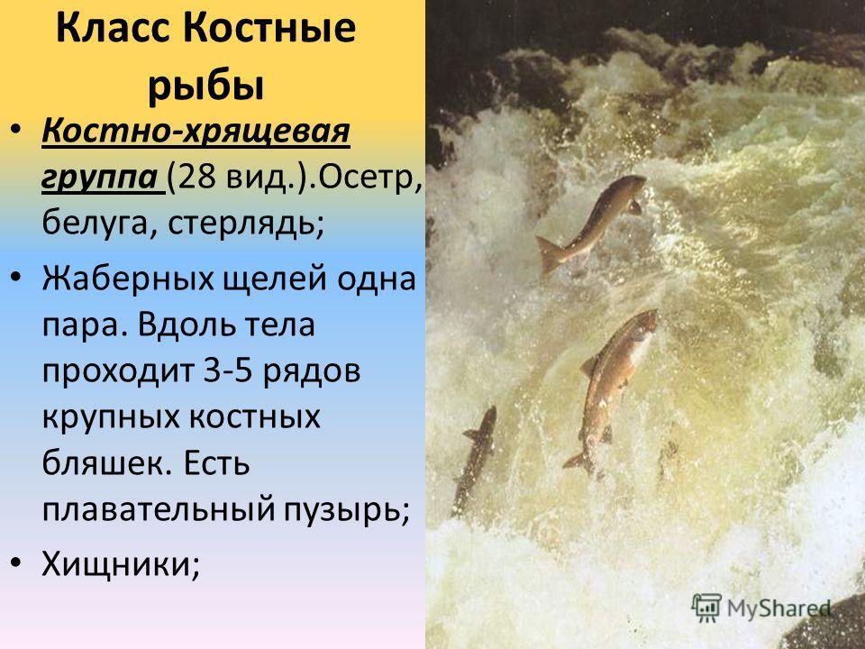 Класс Костные рыбы Костно-хрящевая группа (28 вид.).Осетр, белуга, стерлядь; Жаберных щелей одна пара. Вдоль тела проходит 3-5 рядов крупных костных бляшек. Есть плавательный пузырь; Хищники;