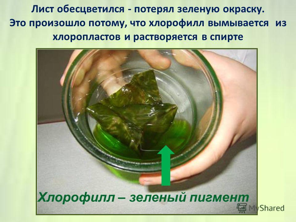 Лист обесцветился - потерял зеленую окраску. Это произошло потому, что хлорофилл вымывается из хлоропластов и растворяется в спирте Хлорофилл – зеленый пигмент