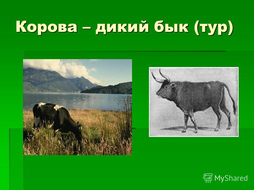 Корова – дикий бык (тур)