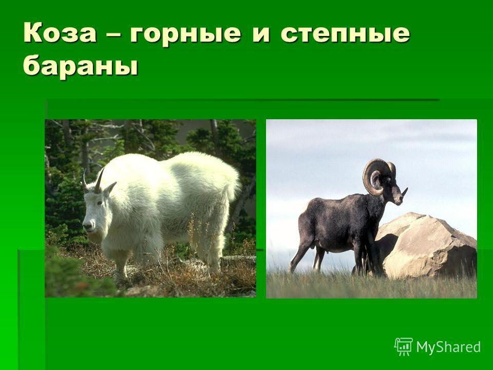 Коза – горные и степные бараны