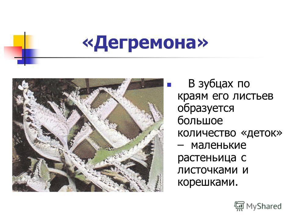 «Дегремона» В зубцах по краям его листьев образуется большое количество «деток» – маленькие растеньица с листочками и корешками.