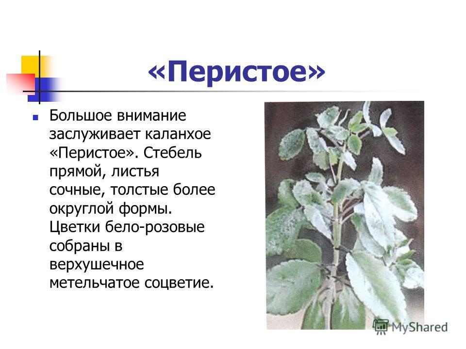 «Перистое» Большое внимание заслуживает каланхое «Перистое». Стебель прямой, листья сочные, толстые более округлой формы. Цветки бело-розовые собраны в верхушечное метельчатое соцветие.