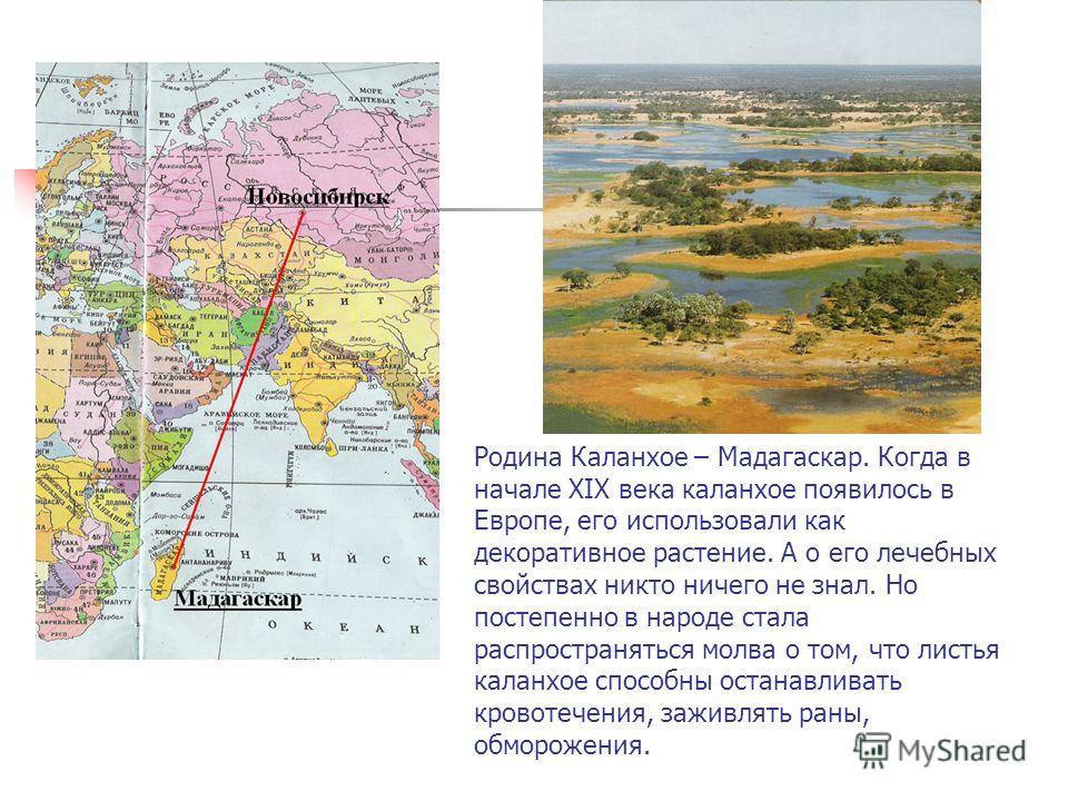 Родина Каланхое – Мадагаскар. Когда в начале XIX века каланхое появилось в Европе, его использовали как декоративное растение. А о его лечебных свойствах никто ничего не знал. Но постепенно в народе стала распространяться молва о том, что листья кала