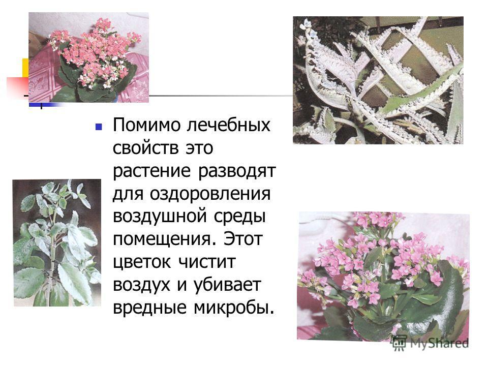 Помимо лечебных свойств это растение разводят для оздоровления воздушной среды помещения. Этот цветок чистит воздух и убивает вредные микробы.