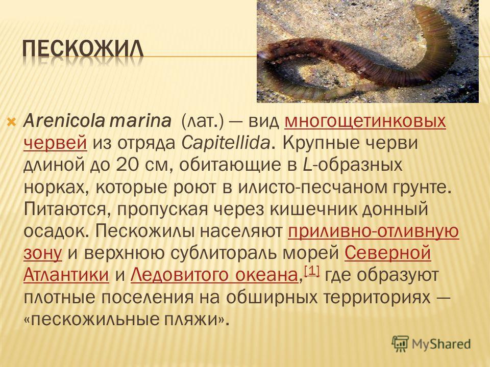 Arenicola marina (лат.) вид многощетинковых червей из отряда Capitellida. Крупные черви длиной до 20 см, обитающие в L-образных норках, которые роют в илисто-песчаном грунте. Питаются, пропуская через кишечник донный осадок. Пескожилы населяют прилив