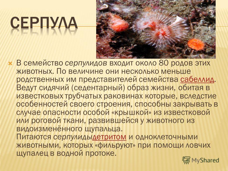 В семейство серпулидов входит около 80 родов этих животных. По величине они несколько меньше родственных им представителей семейства сабеллид. Ведут сидячий (седентарный) образ жизни, обитая в известковых трубчатых раковинах которые, вследстие особен