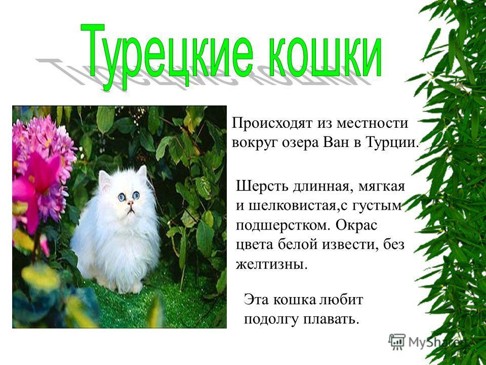 Происходят из местности вокруг озера Ван в Турции. Шерсть длинная, мягкая и шелковистая,с густым подшерстком. Окрас цвета белой извести, без желтизны. Эта кошка любит подолгу плавать.