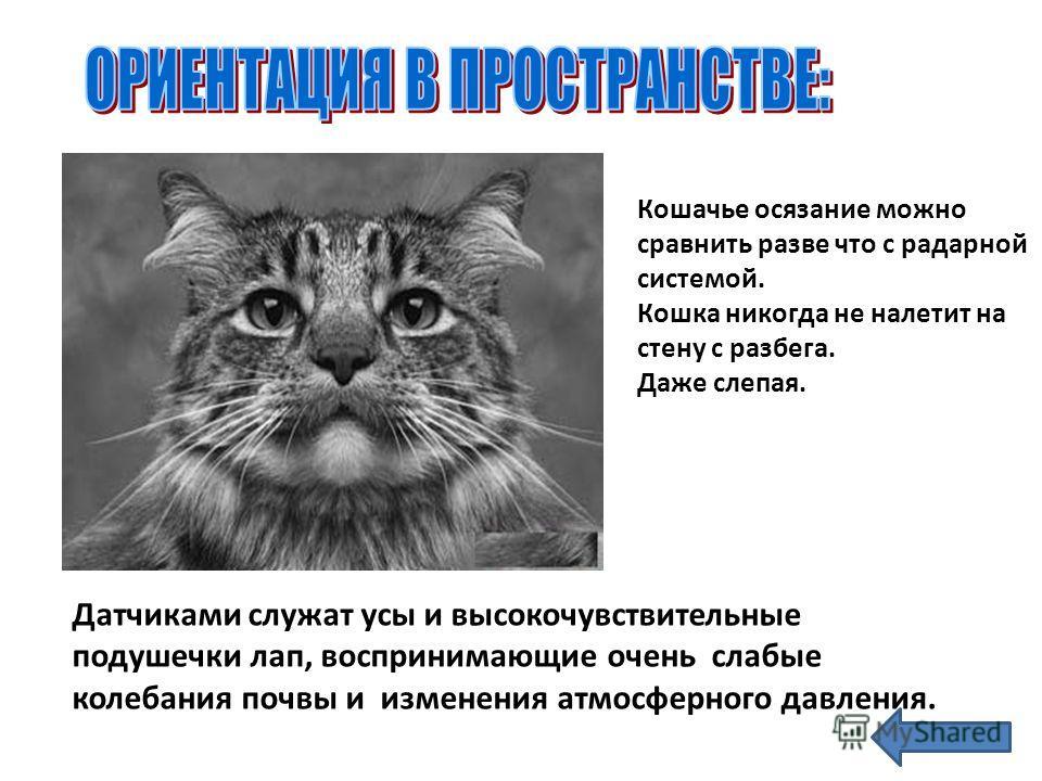 Кошачье осязание можно сравнить разве что с радарной системой. Кошка никогда не налетит на стену с разбега. Даже слепая. Датчиками служат усы и высокочувствительные подушечки лап, воспринимающие очень слабые колебания почвы и изменения атмосферного д