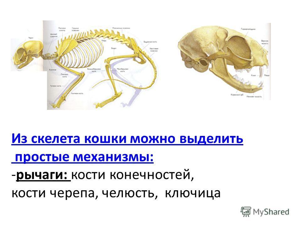 Из скелета кошки можно выделить простые механизмы: -рычаги: кости конечностей, кости черепа, челюсть, ключица