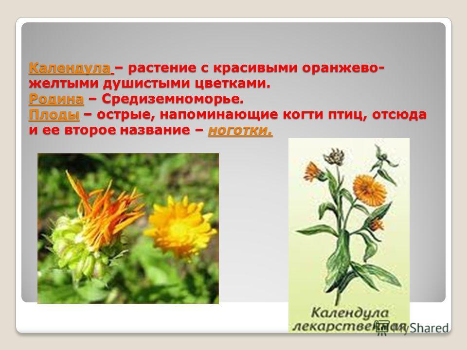 Календула – растение с красивыми оранжево- желтыми душистыми цветками. Родина – Средиземноморье. Плоды – острые, напоминающие когти птиц, отсюда и ее второе название – ноготки.
