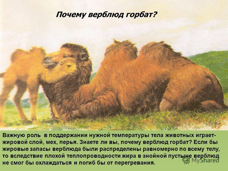 Важную роль в поддержании нужной температуры тела животных играет- жировой слой, мех, перья. Знаете ли вы, почему верблюд горбат? Если бы жировые запасы верблюда были распределены равномерно по всему телу, то вследствие плохой теплопроводности жира в