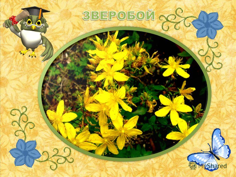 Я на луг с утра пошла, Травку нужную нашла: Мелкий, жёлтенький цветок Он не ярок, не высок, Вылечит недуг любой. Что же это?