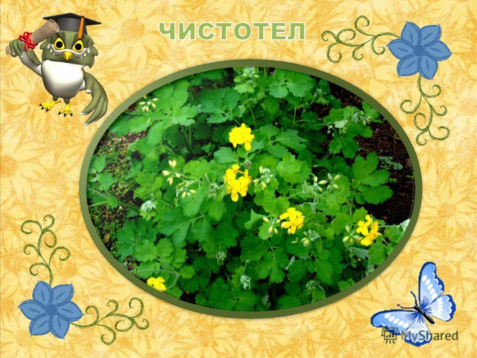Если стебель отломить, Руки трудно уж отмыть! Желтый сок в листочках, В маленьких цветочках – Тот сок для добрых чистых дел, А травка эта…