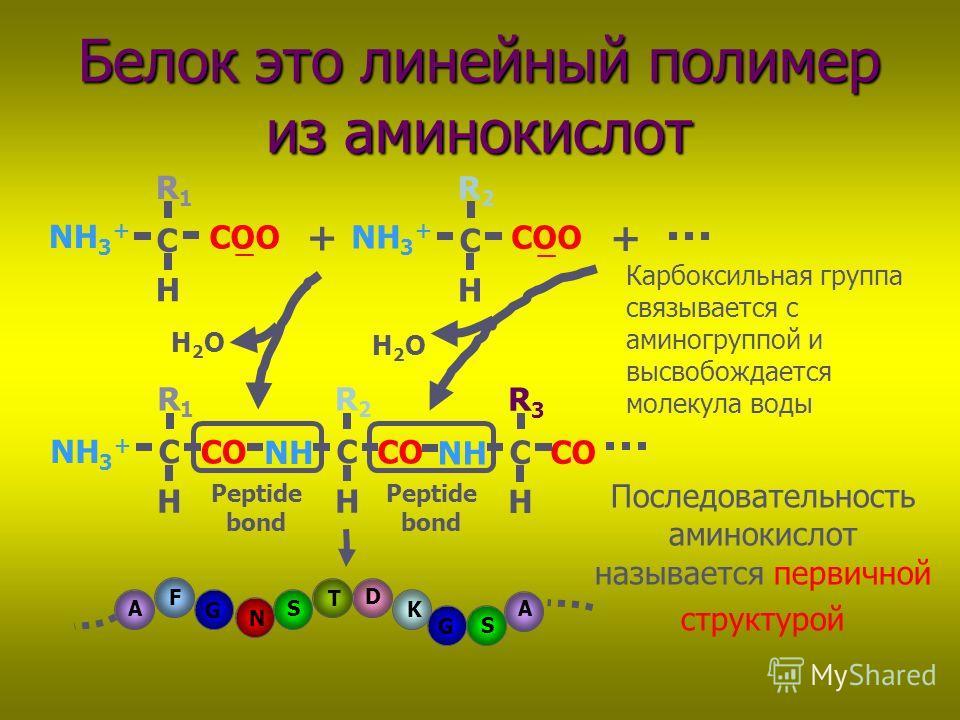Белок это линейный полимер из аминокислот R1R1 NH 3 C CO H R2R2 NH C CO H R3R3 NH CCO H R2R2 NH 3 C COO H R1R1 NH 3 C COO H H2OH2O H2OH2O Peptide bond Последовательность аминокислот называется первичной структурой AA F N G G S T S D K Карбоксильная г