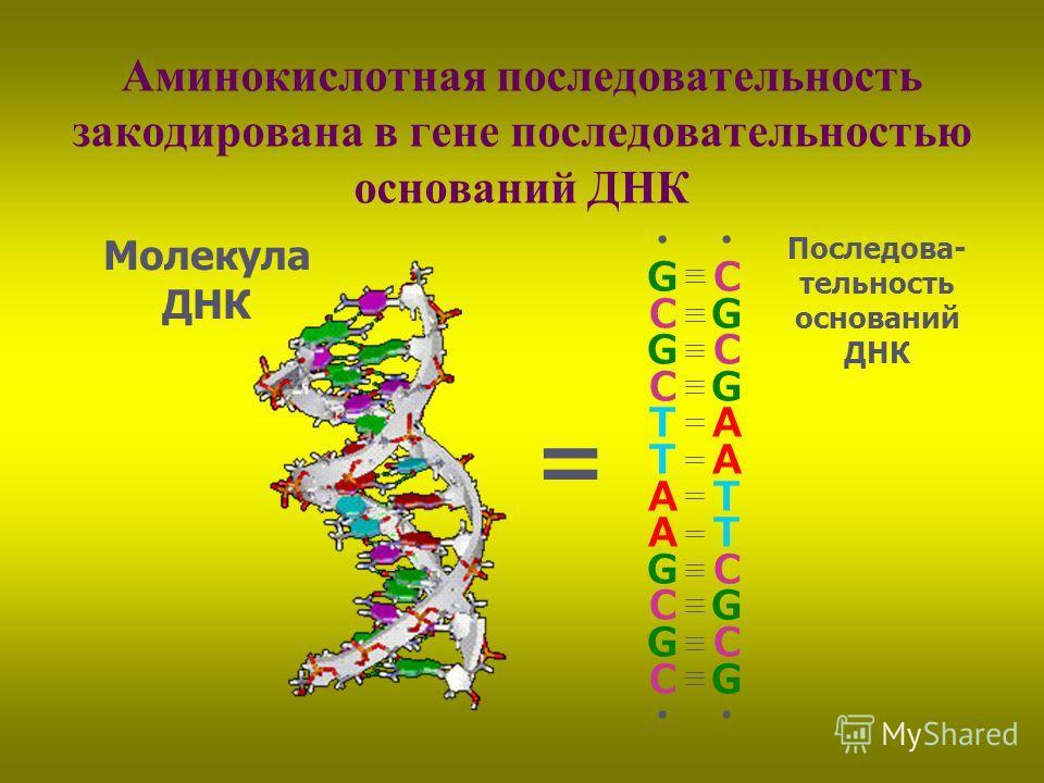 Аминокислотная последовательность закодирована в гене последовательностью оснований ДНК C G C G A T C G C G G C G C T A G C G C Молекула ДНК Последова- тельность оснований ДНК
