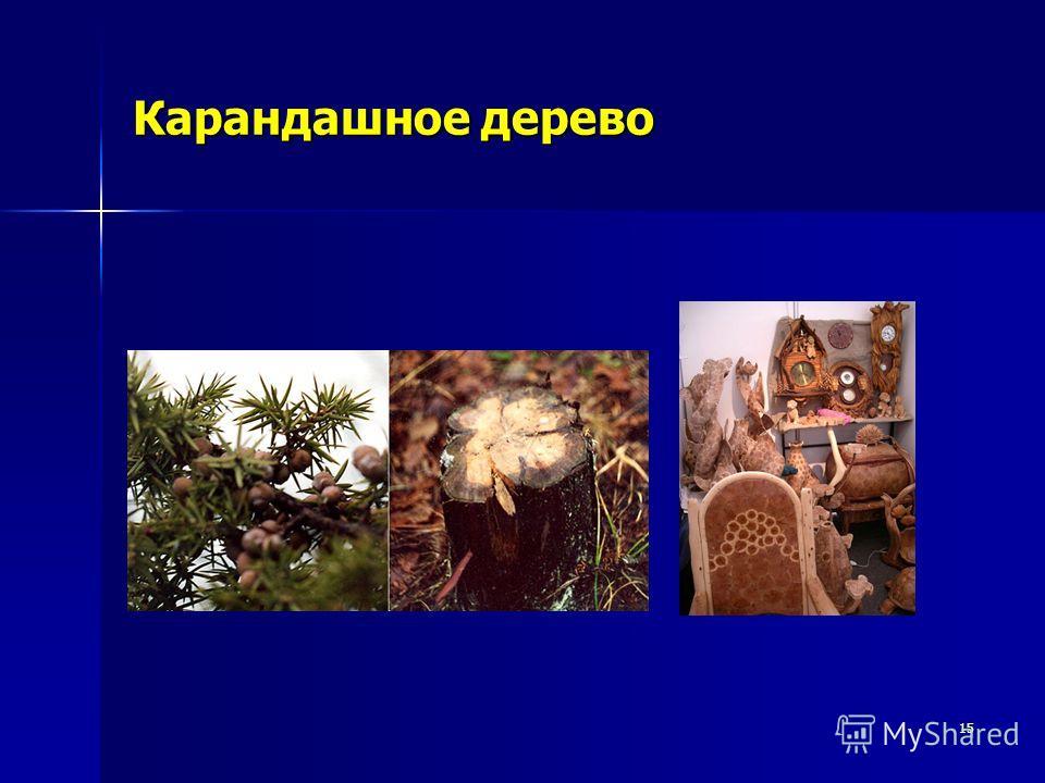 15 Карандашное дерево
