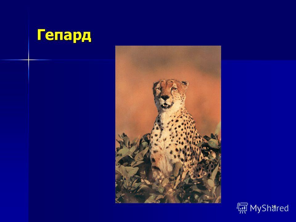 18 Гепард