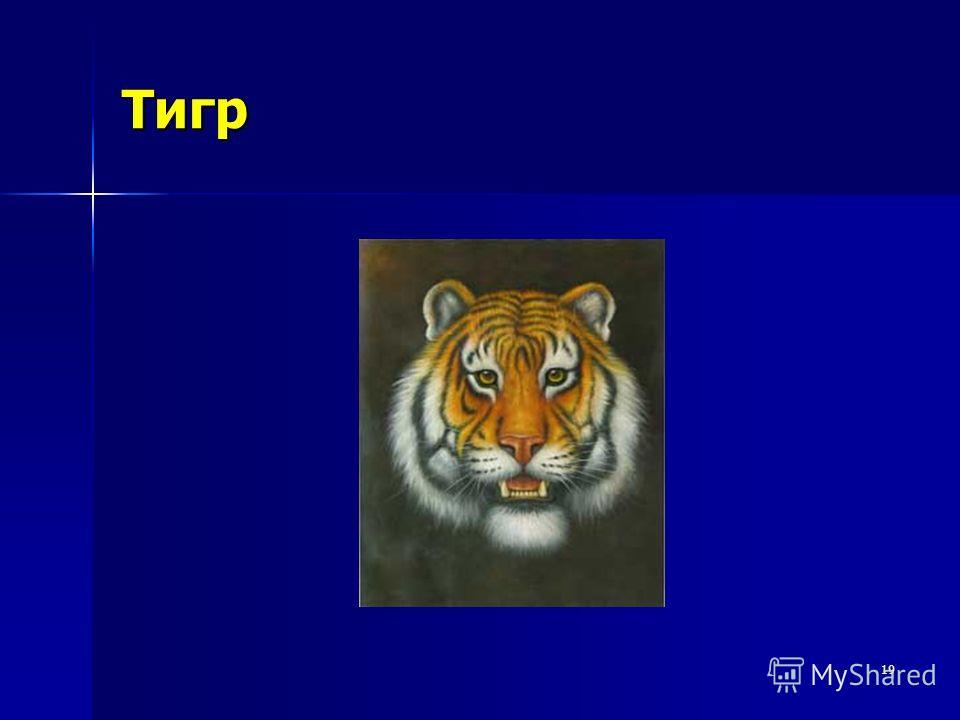 19 Тигр