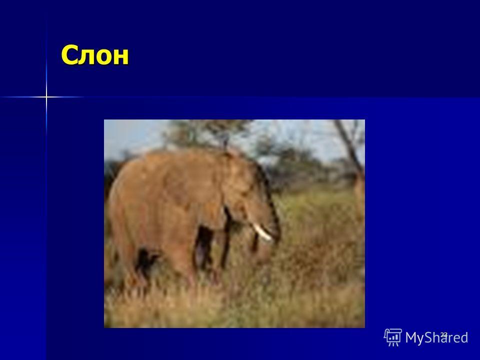 23 Слон