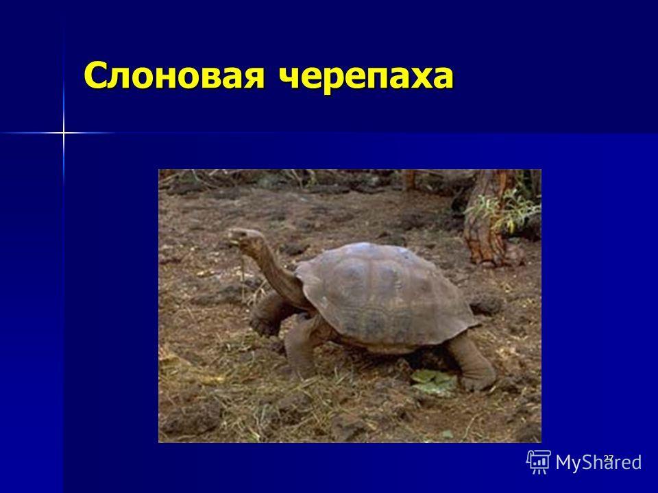 27 Слоновая черепаха
