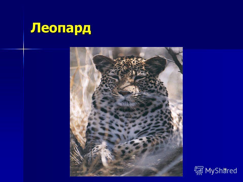 28 Леопард