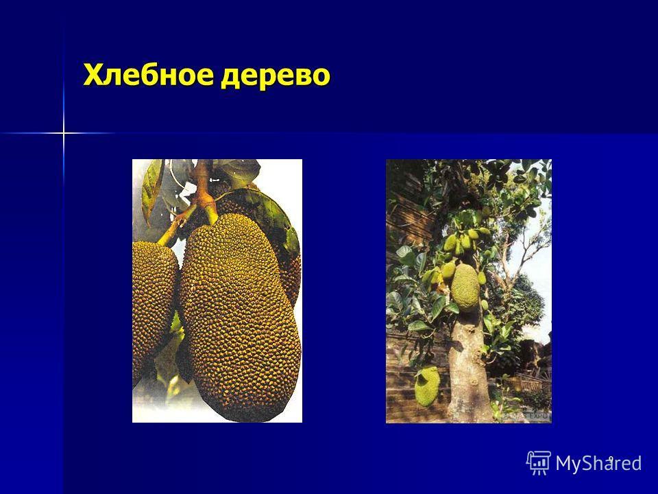 9 Хлебное дерево