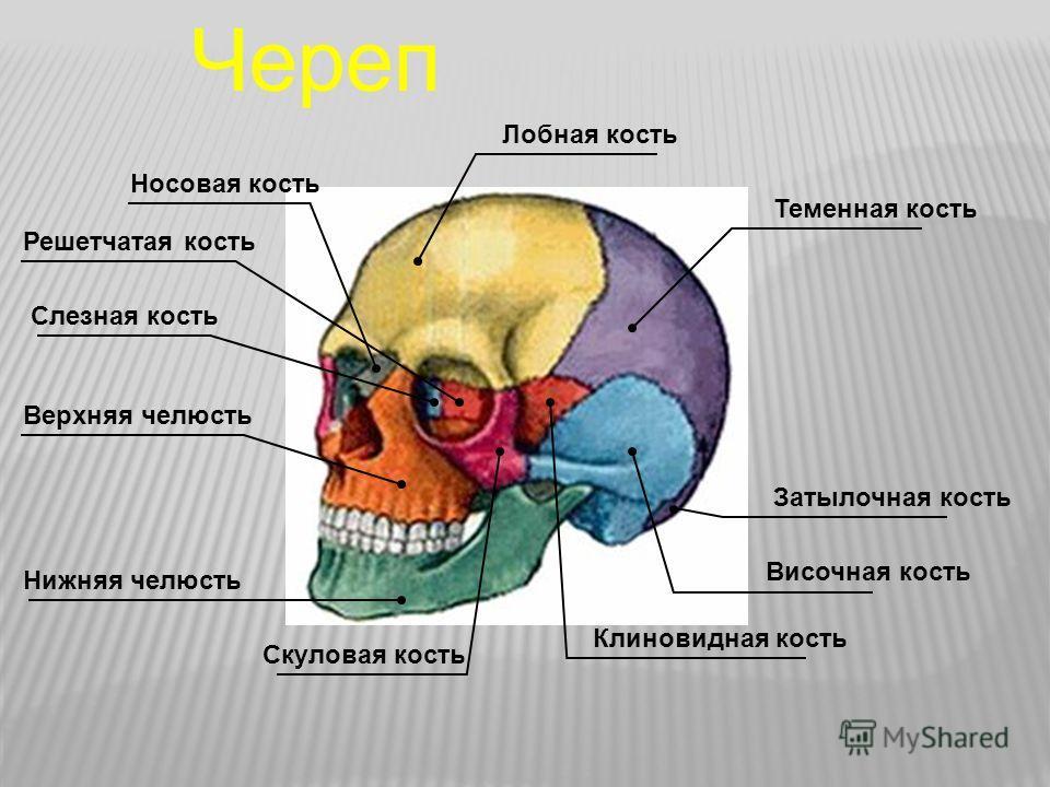 Решетчатая кость Слезная кость Носовая кость Лобная кость Теменная кость Затылочная кость Височная кость Клиновидная кость Скуловая кость Нижняя челюсть Верхняя челюсть Череп