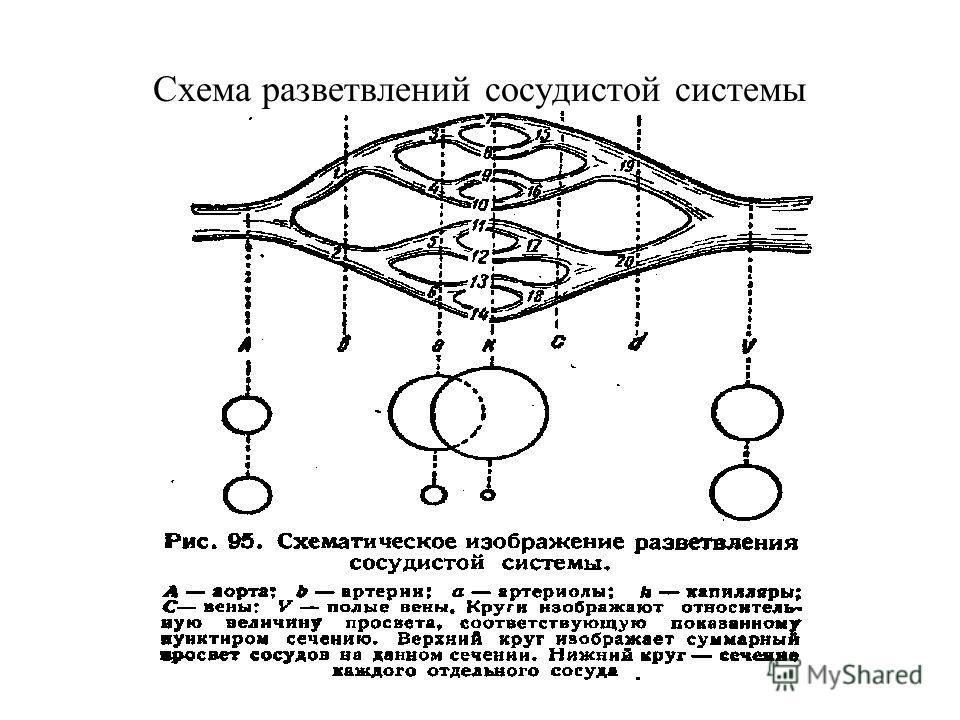 Схема разветвлений сосудистой системы