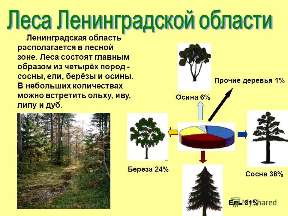 Сосна 38% Ель 31% Береза 24% Осина 6% Прочие деревья 1% Ленинградская область располагается в лесной зоне. Леса состоят главным образом из четырёх пород - сосны, ели, берёзы и осины. В небольших количествах можно встретить ольху, иву, липу и дуб.