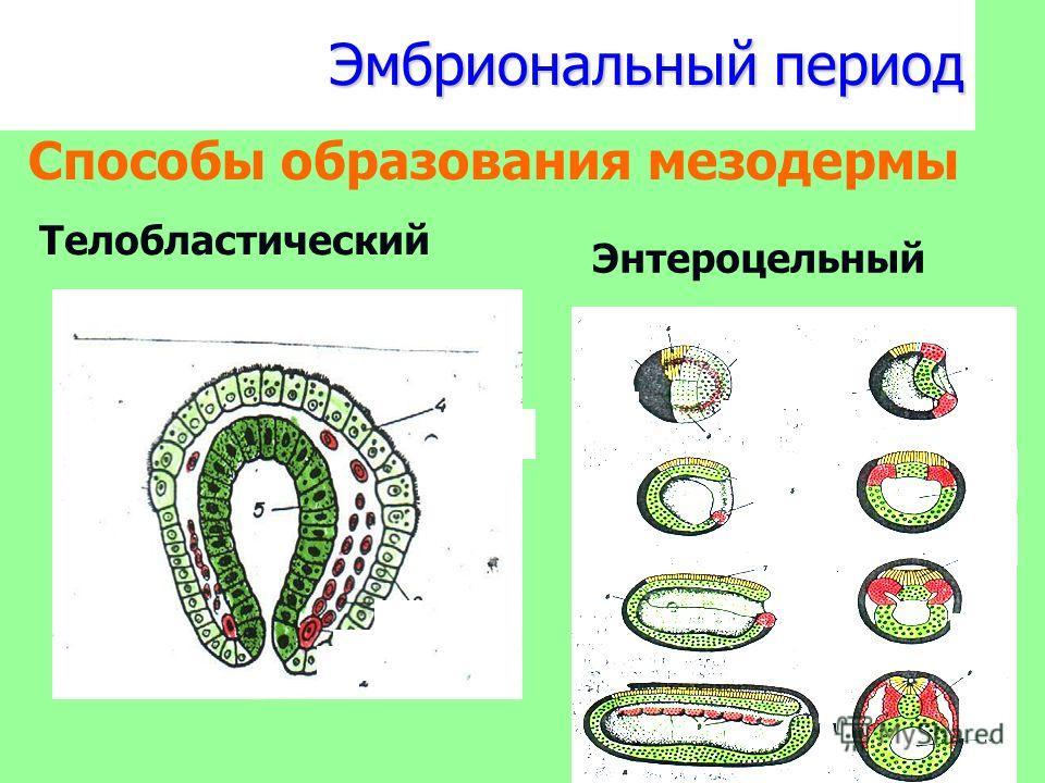 Эмбриональный период Способы образования мезодермы Телобластический Энтероцельный