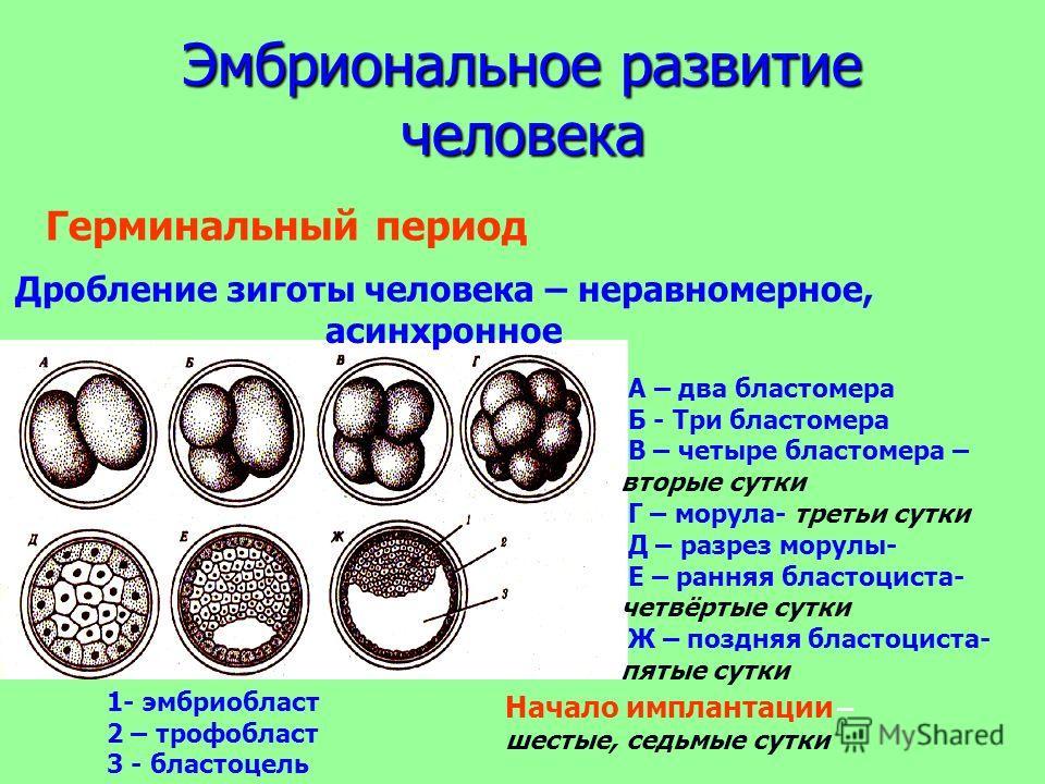 Эмбриональное развитие человека Дробление зиготы человека – неравномерное, асинхронное 1- эмбриобласт 2 – трофобласт 3 - бластоцель А – два бластомера Б - Три бластомера В – четыре бластомера – вторые сутки Г – морула- третьи сутки Д – разрез морулы-