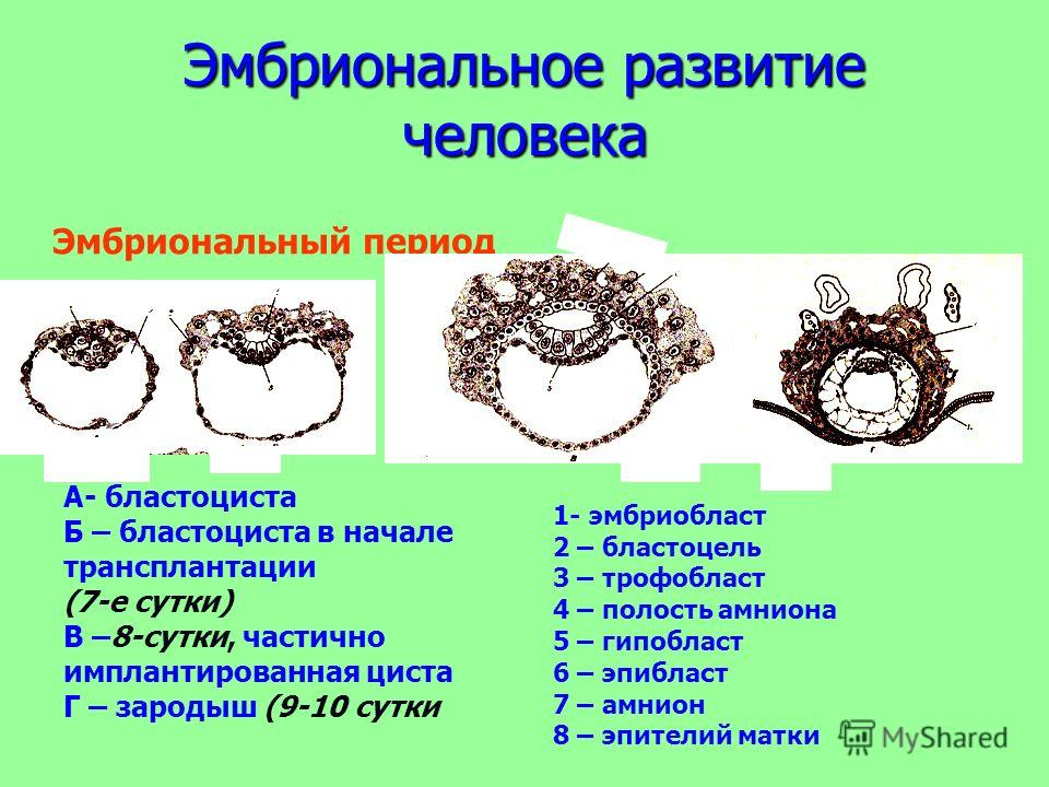 Эмбриональное развитие человека Эмбриональный период Б АВ Г А- бластоциста Б – бластоциста в начале трансплантации (7-е сутки) В –8-сутки, частично имплантированная циста Г – зародыш (9-10 сутки 1 2 3 4 5 1- эмбриобласт 2 – бластоцель 3 – трофобласт