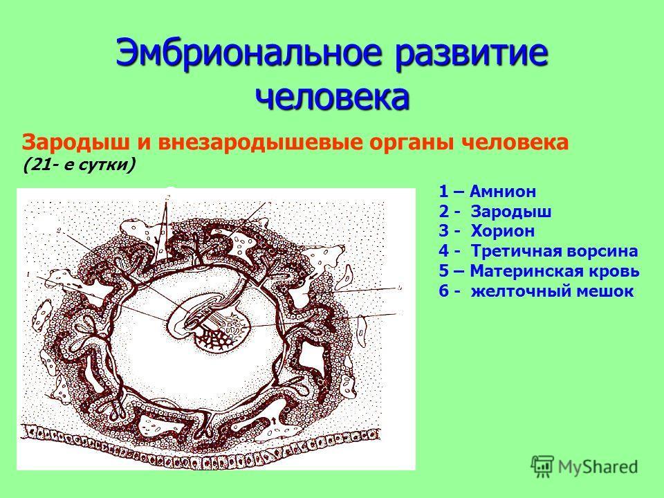 Эмбриональное развитие человека Зародыш и внезародышевые органы человека (21- е сутки) 1 2 3 4 5 6 1 – Амнион 2 - Зародыш 3 - Хорион 4 - Третичная ворсина 5 – Материнская кровь 6 - желточный мешок