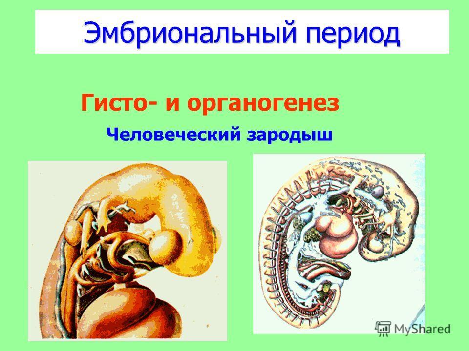 Эмбриональный период Человеческий зародыш Гисто- и органогенез