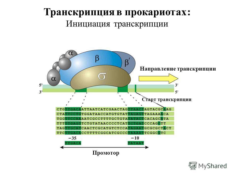 Транскрипция в прокариотах : Инициация транскрипции Направление транскрипции Старт транскрипции Промотор