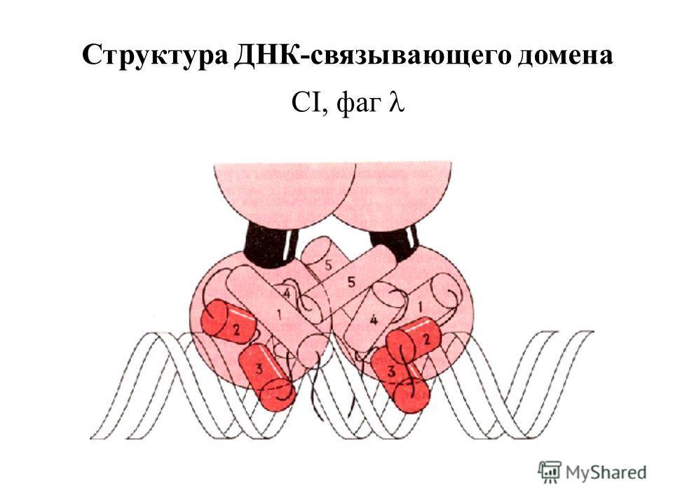 Структура ДНК-связывающего домена CI, фаг